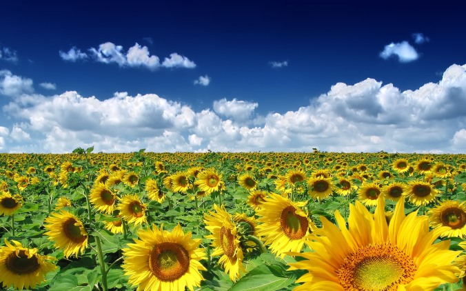 sun-flower-sunflower-picture-x-855822